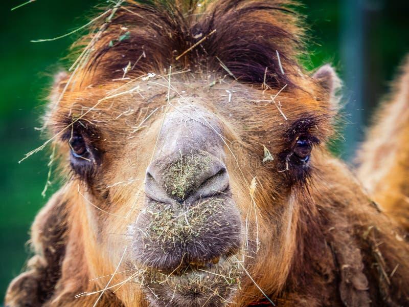 Kamel och dromedar royaltyfri fotografi