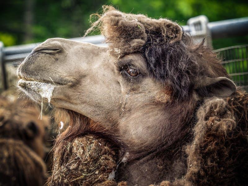 Kamel och dromedar fotografering för bildbyråer
