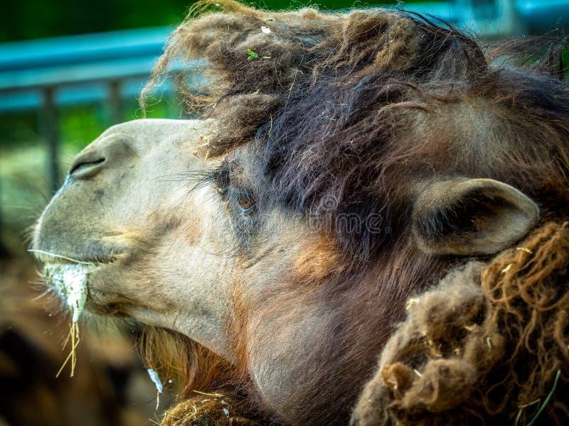 Kamel och dromedar royaltyfri bild