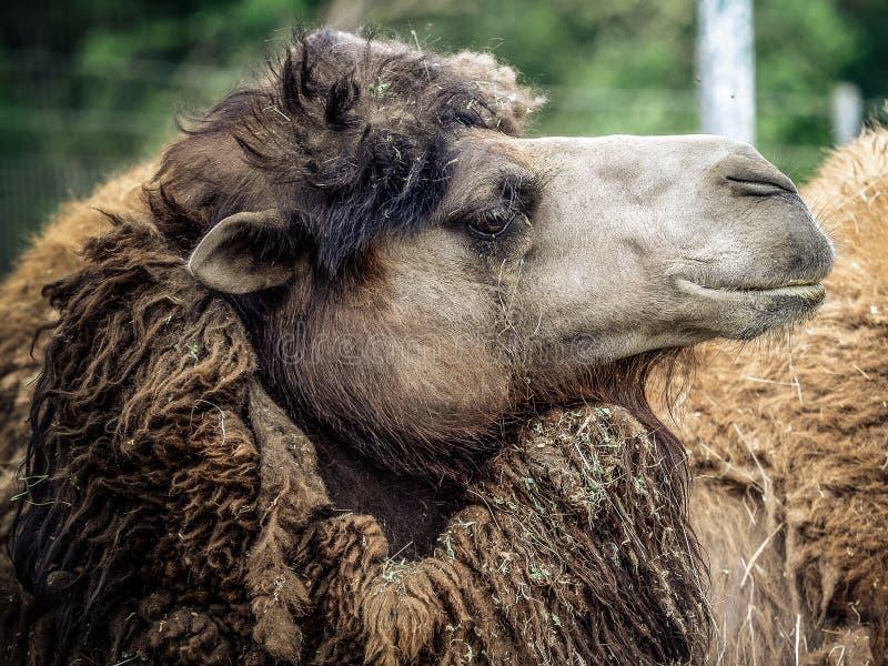 Kamel och dromedar arkivbilder