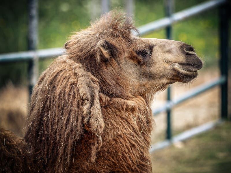 Kamel och dromedar arkivbild