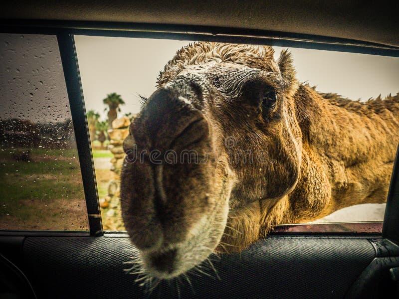 Kamel och dromedar arkivfoton