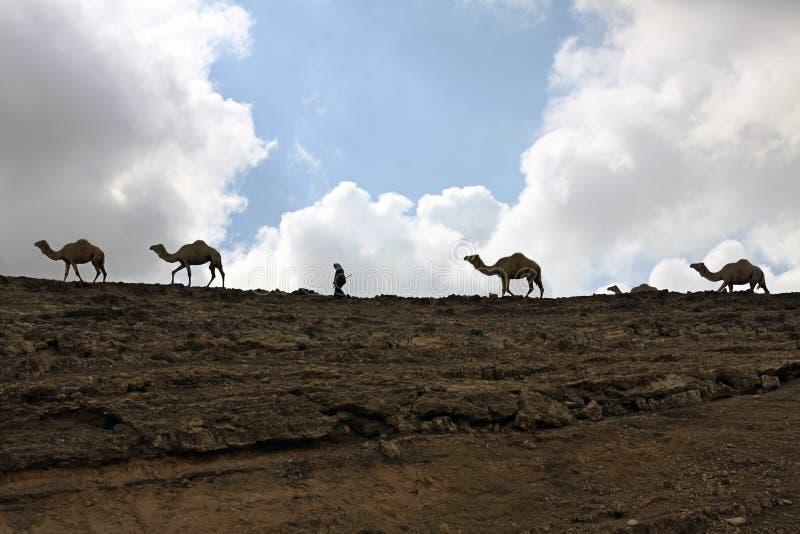 Kamel och en herde arkivbilder