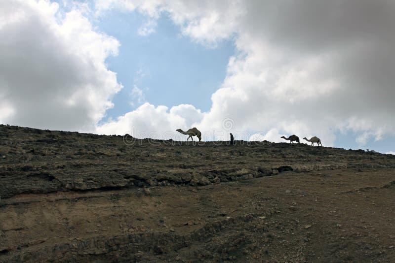 Kamel och en herde royaltyfria foton