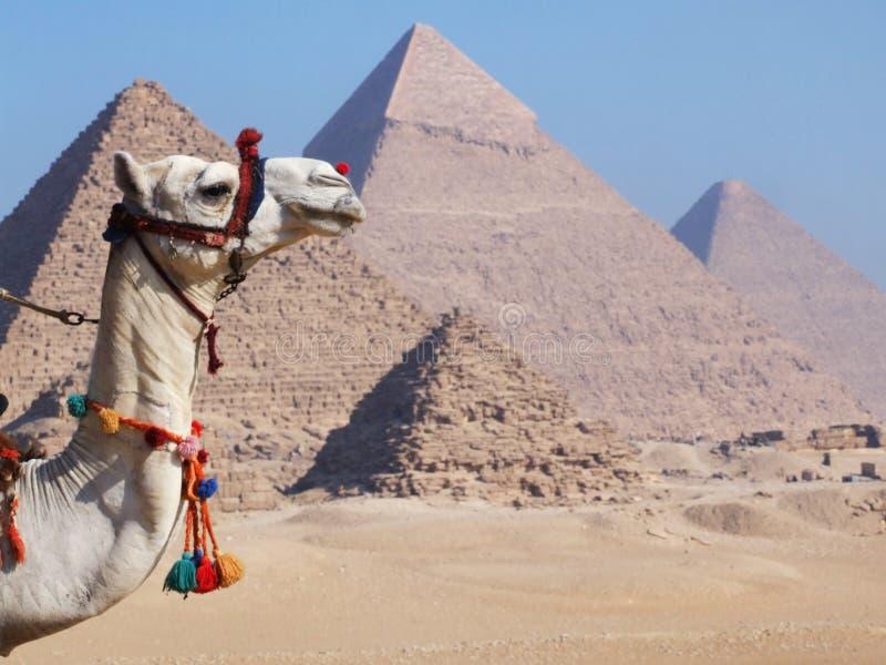 Kamel och pyramider royaltyfri fotografi