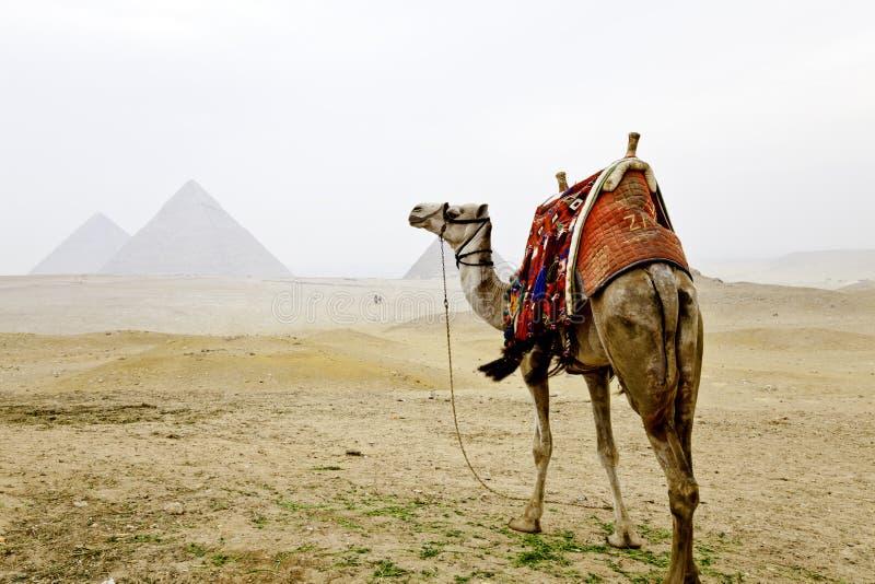 Kamel och pyramiderna av giza royaltyfria foton