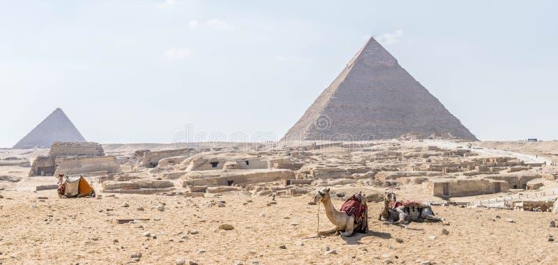 Kamel på bakgrunden av det Giza pyramidkomplexet royaltyfri bild