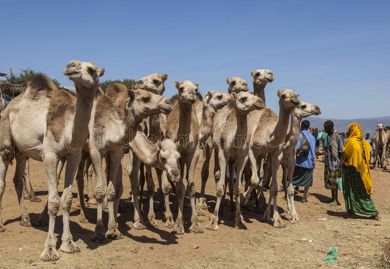 Kamel på boskapmarknaden Babile ethiopia royaltyfria foton