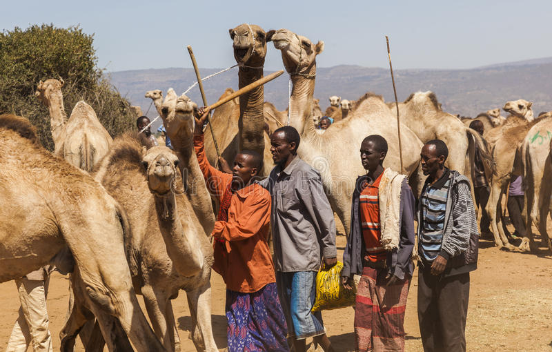 Kamel på boskapmarknaden Babile ethiopia royaltyfri bild