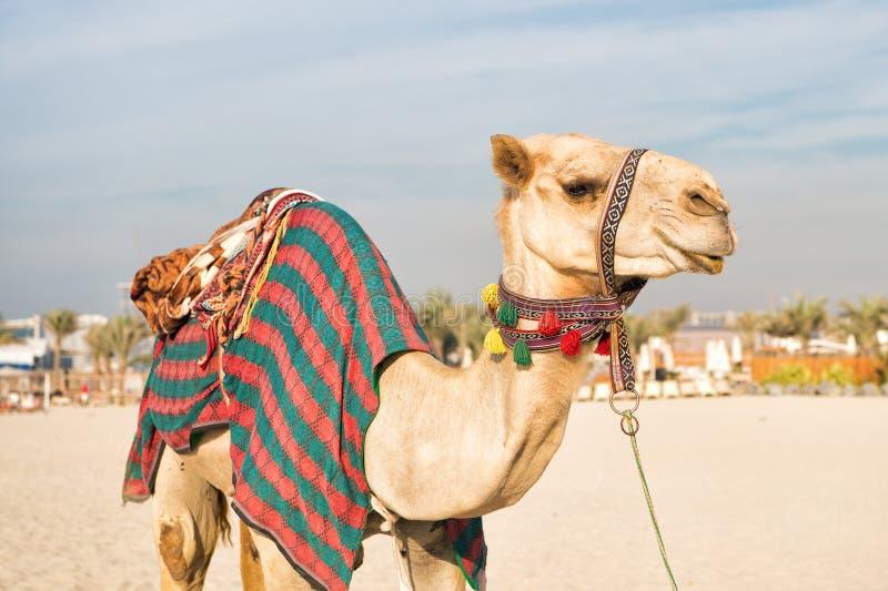 Kamel på den Dubai Jumeirah stranden och skyskrapor i backrounden arkivbilder