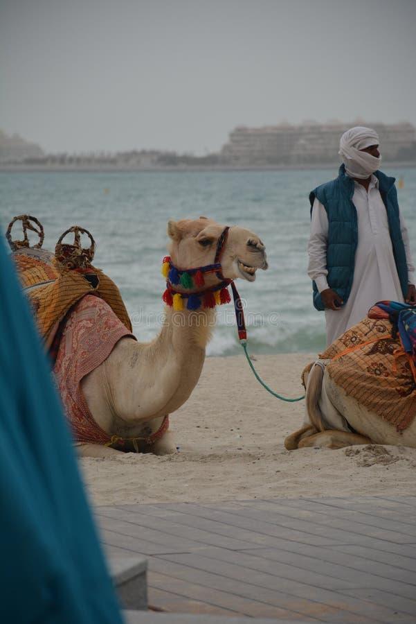 Kamel på den Dubai stranden fotografering för bildbyråer