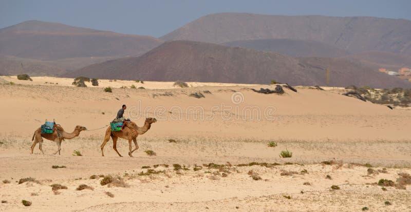Kamel på dyn royaltyfri bild