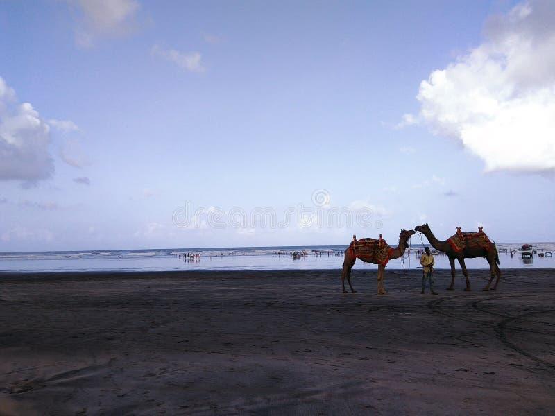 Kamel på en strand royaltyfri bild