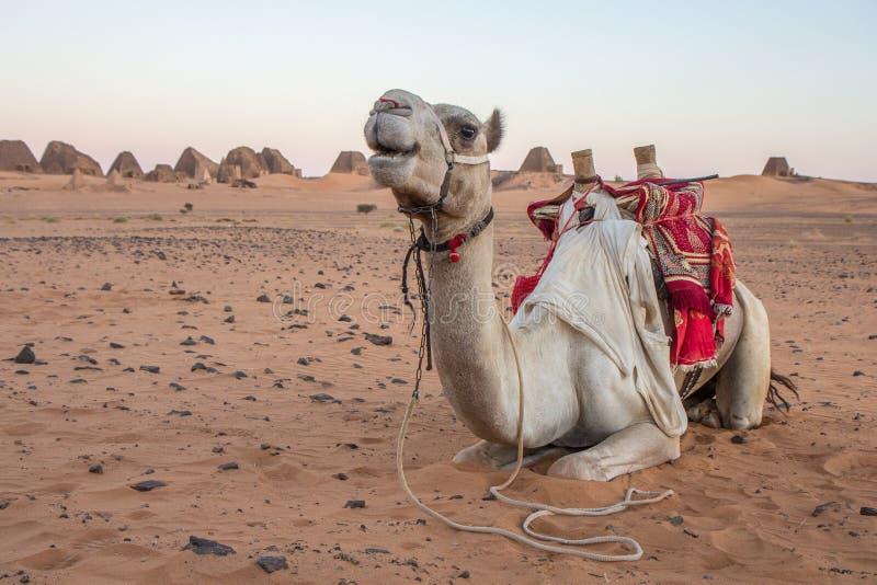 Kamel på Meroe pyramider royaltyfri fotografi