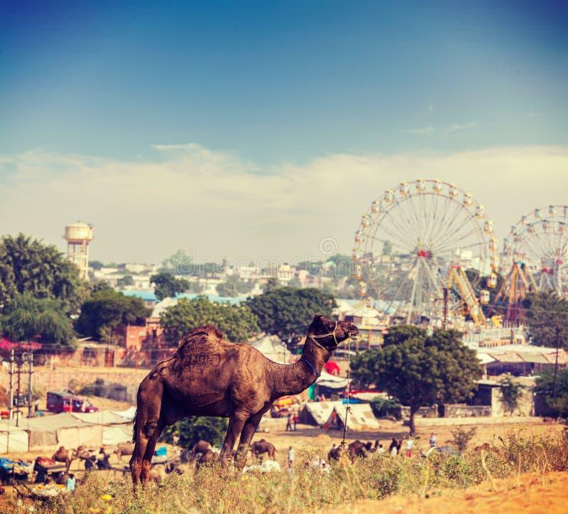 Kamel på Pushkar Mela (den Pushkar kamelmässan), Indien royaltyfria foton
