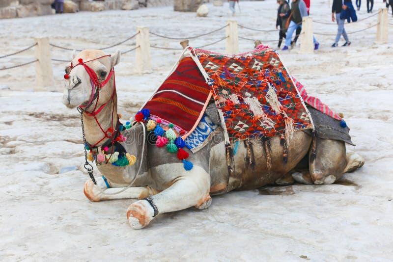 Kamel på pyramider - Egypten royaltyfria bilder