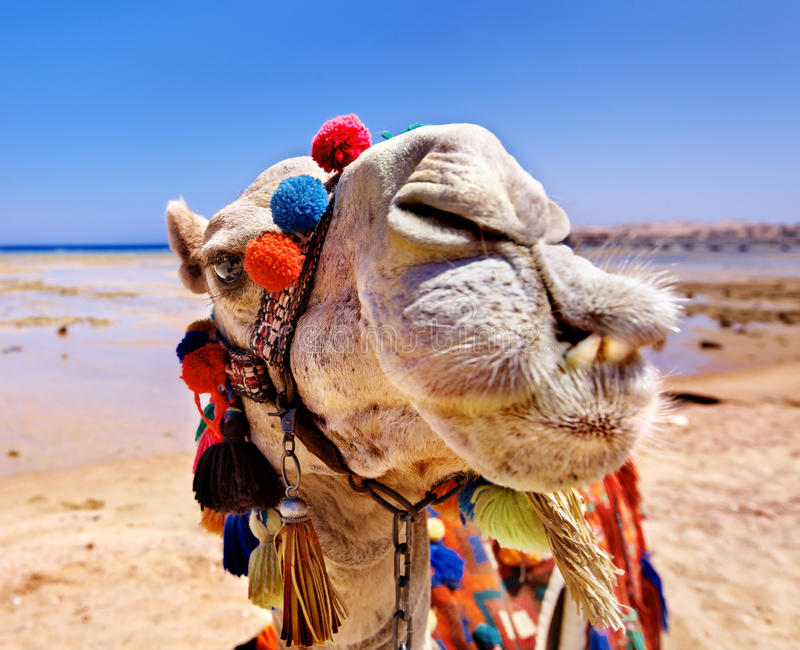 Kamel på stranden. royaltyfri foto