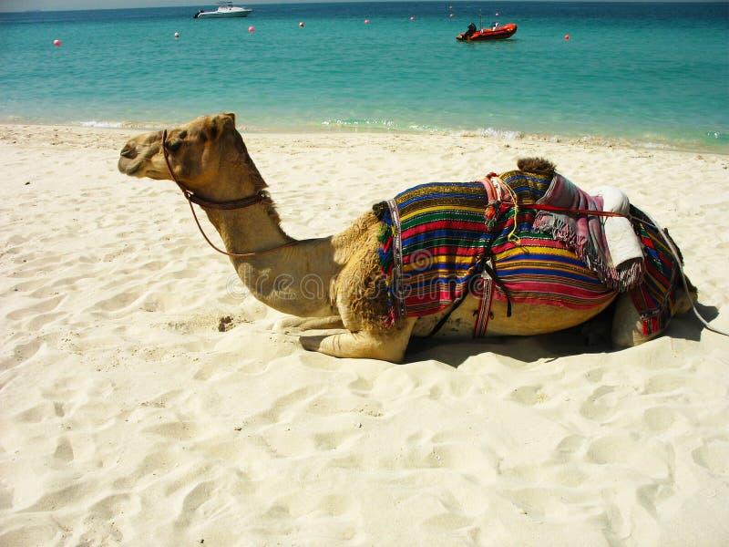 Kamel på stranden i Dubai, UAE royaltyfri fotografi