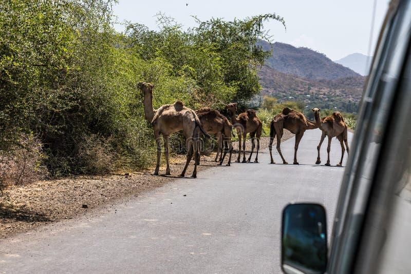 Kamel p? v?gen till Gheralta i Tigray, nordliga Etiopien fotografering för bildbyråer