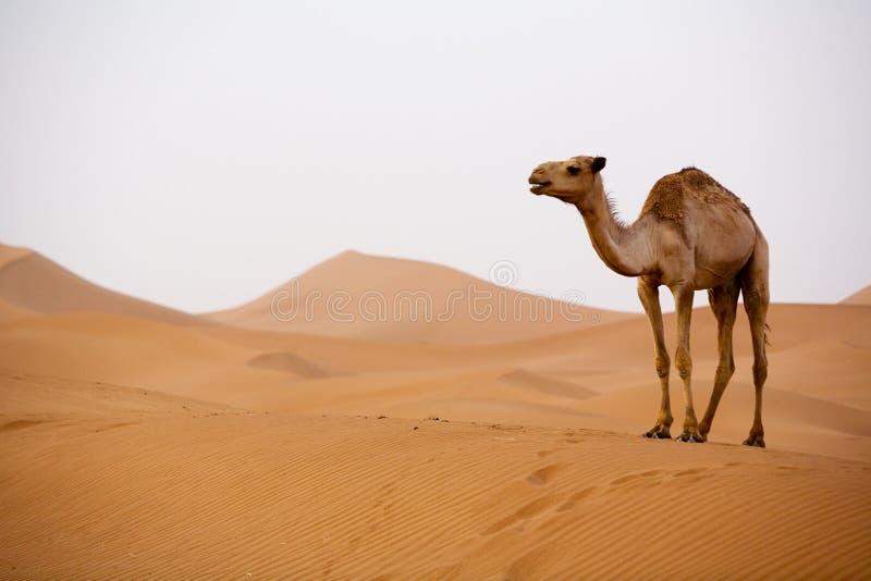 Kamel in Sahara lizenzfreie stockbilder