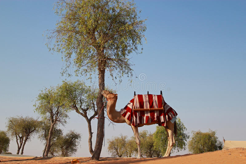 Kamel som är klar för en ritt fotografering för bildbyråer