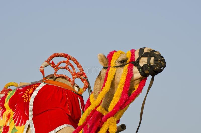 Kamel som dekoreras med färgrika tofsar, halsband och pärlor, Indien royaltyfria foton