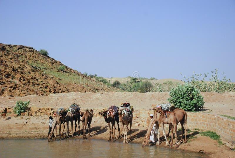 Kamel som dricker från ökenoas royaltyfri fotografi