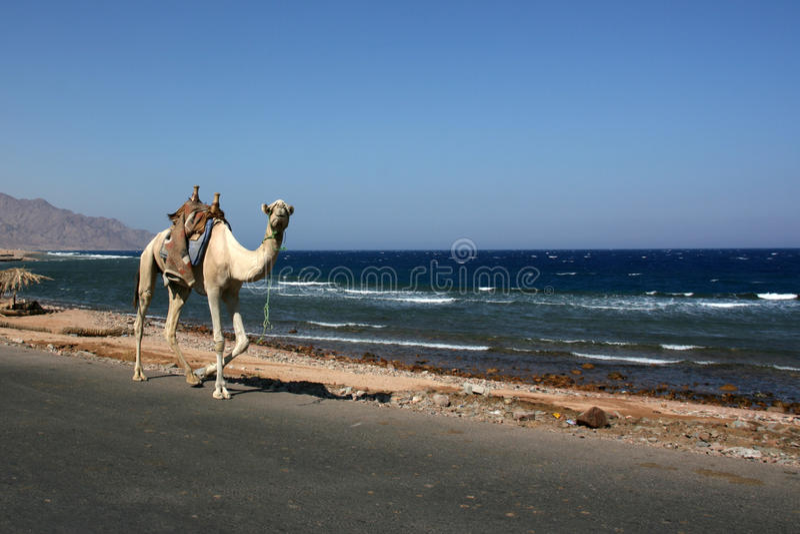 Kamel som går hem- ensamt royaltyfri bild