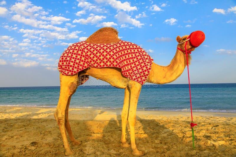 Kamel som kopplar av på stranden royaltyfri fotografi
