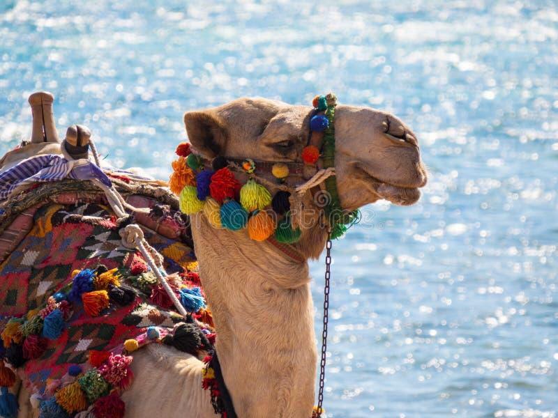 Kamel som ta sig en tupplur på kusten av Röda havet arkivfoto