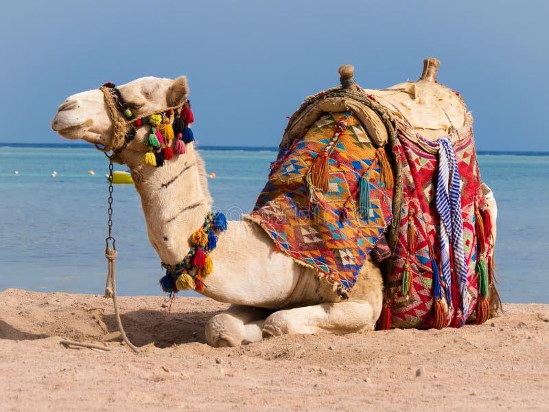 Kamel som ta sig en tupplur på kusten av Röda havet fotografering för bildbyråer