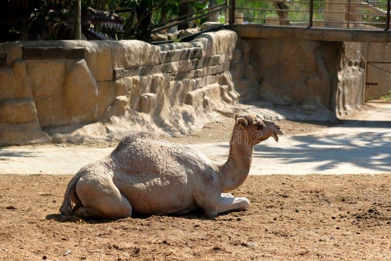 Kamel som vilar det fria royaltyfria bilder