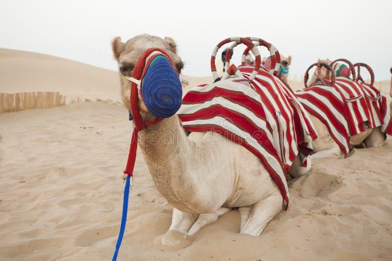 Kamel som vilar i öknen royaltyfria foton