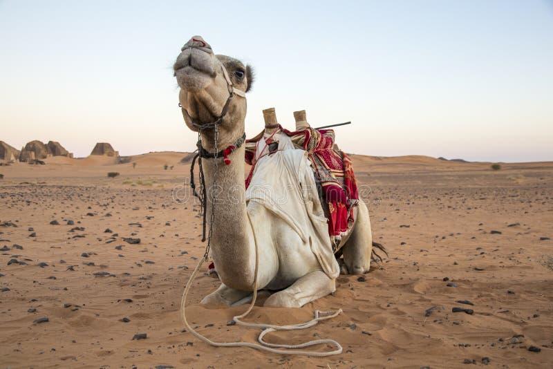Kamel som vilar i en öken nära Meroe pyramider i Sudan fotografering för bildbyråer