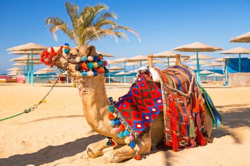 Kamel som vilar i skugga på stranden av Hurghada royaltyfria foton