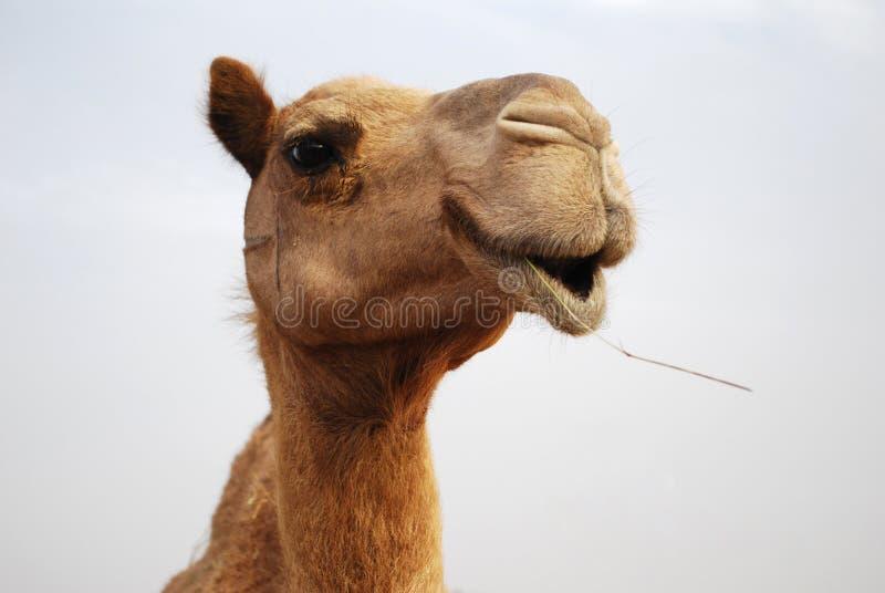 kamel stänger med textsidan upp royaltyfria bilder