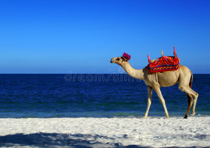 Kamel-Strand lizenzfreie abbildung