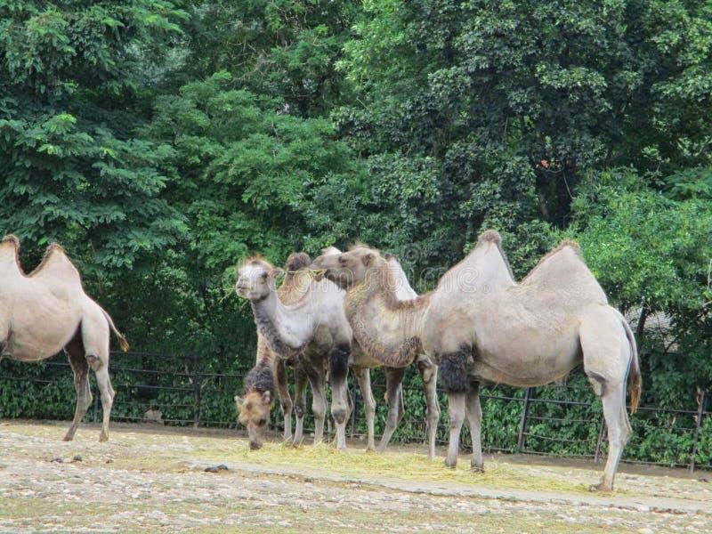 kamel tillsammans på zoo arkivfoto