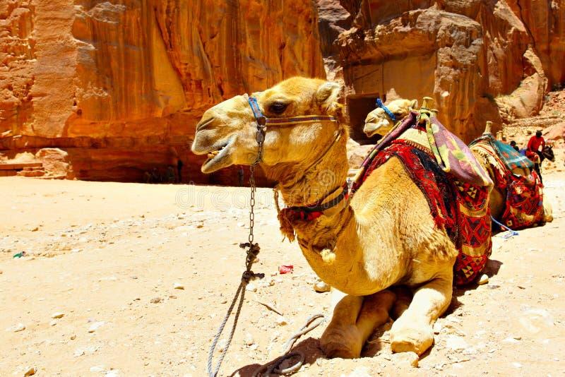 kamel två fotografering för bildbyråer
