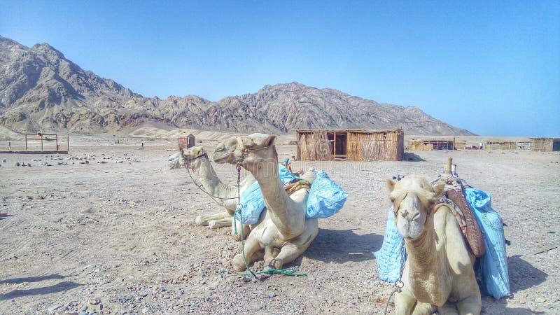 Kamel u. Wüste lizenzfreie stockfotos