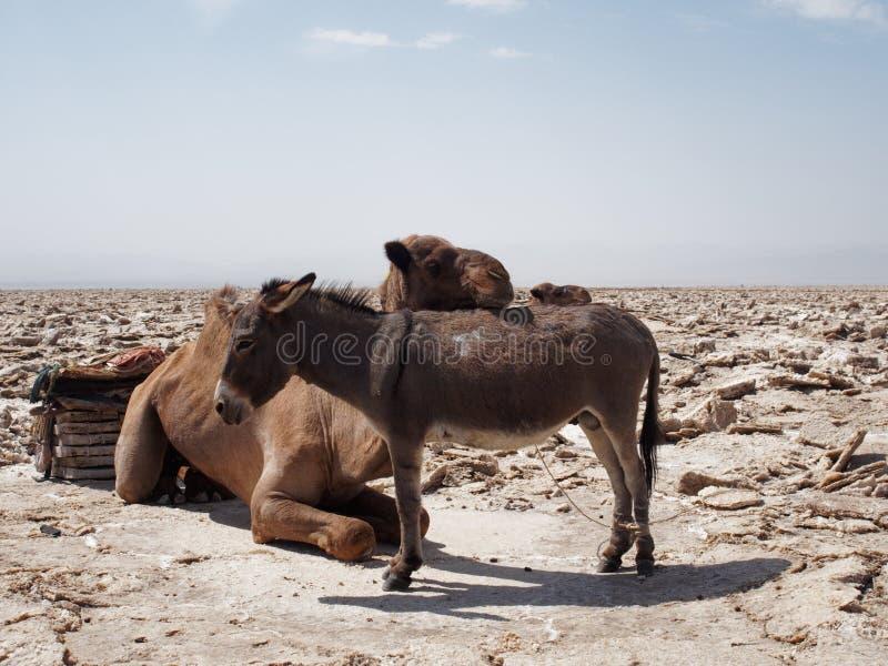 Kamel und Esel in der Wüste stockfotos