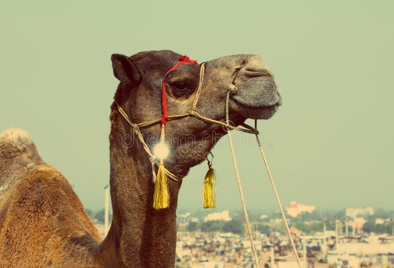 Kamel under festivalen i Pushkar - retro stil för tappning arkivbilder