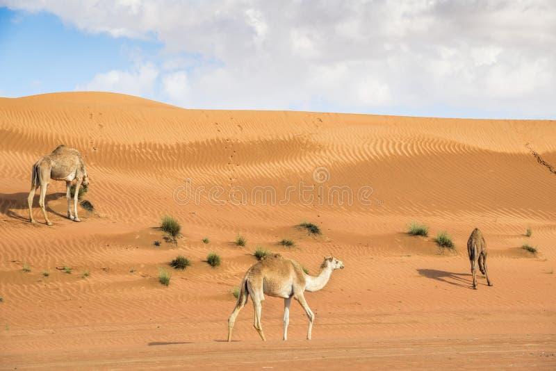 Kamel in Wahiba Oman stockfotografie