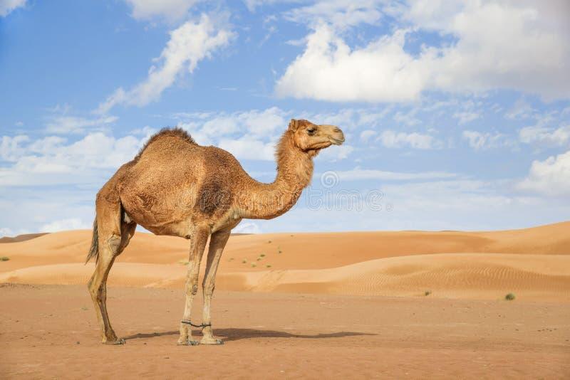 Kamel in Wahiba Oman lizenzfreie stockfotografie