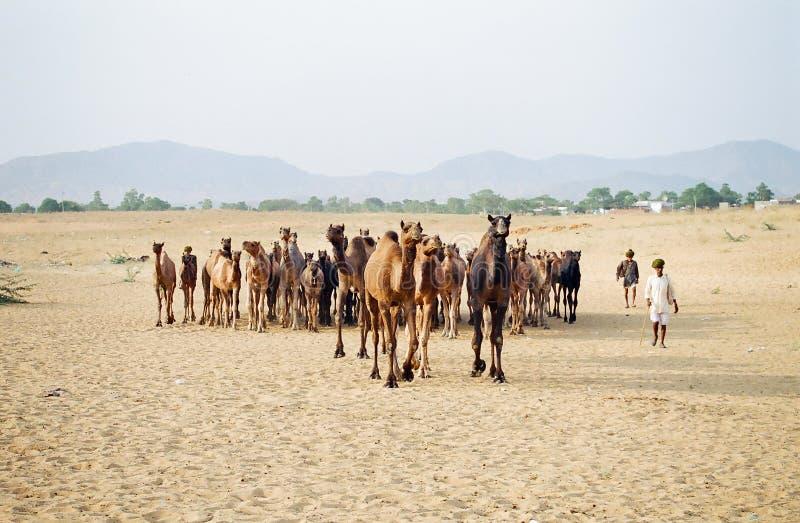 Kamelmässa, Pushkar Indien royaltyfri bild