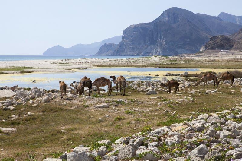 kamele lizenzfreies stockfoto