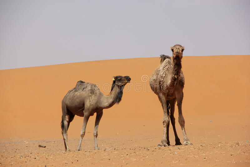 kamele stockfoto