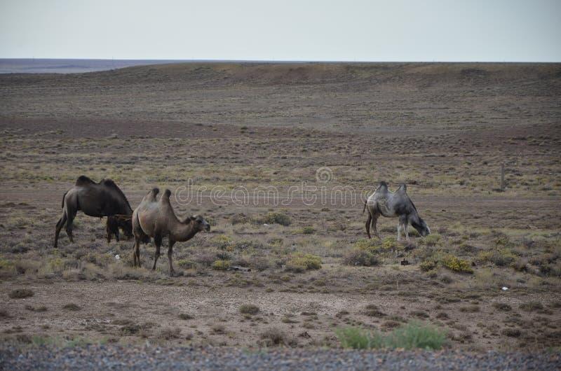 kamele lizenzfreie stockfotografie