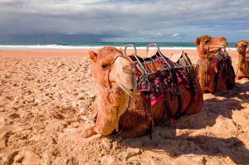 Kamele auf australischem Strand stockbild