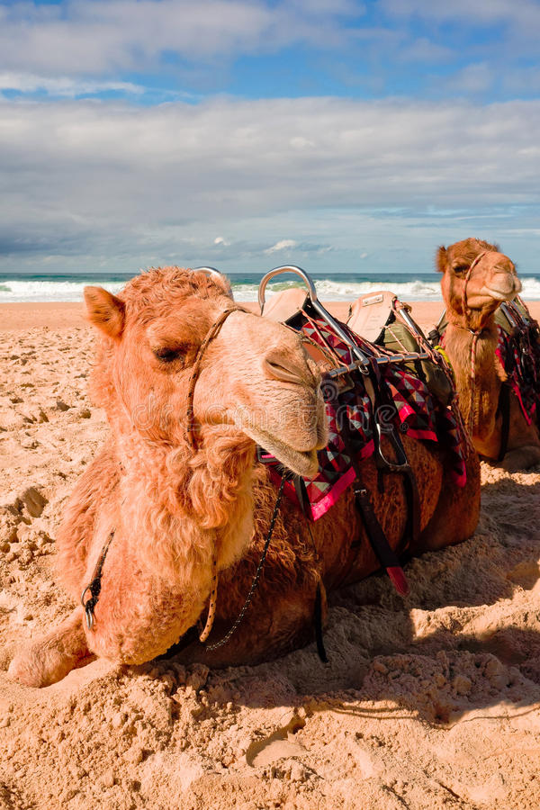 Kamele auf australischem Strand stockfotografie